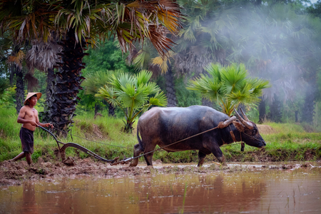 Asian man using the buffalo to plow for rice plant in rainy season,Rural Countryside of Thailand, Vietnam Farmer with buffalo