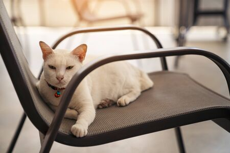 White cat sits on a chair Stock Photo