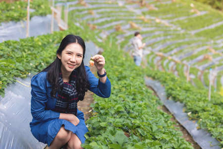asian woman harwesting fresh strawberries in agricultural farm field with happiness emotion in angkhang plantation chiangmai northern of thailand 写真素材