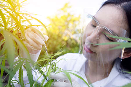 Portrait of doctor checking and analizing hemp plants, Marijuana research, cbd oil, Concept of herbal alternative medicine.