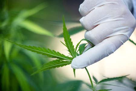 Woman controls marijuana plants. Hemp field in garden. Focus on leaves holded by hands