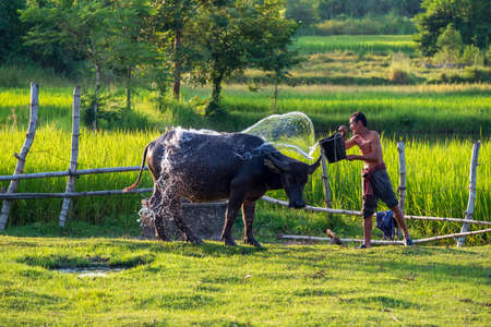 Asian farmer with buffalo in rice field, Asian man loves and bathes his buffalo in Thailand's countryside.