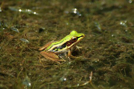 grenouille verte: Grenouille verte sur l'algue