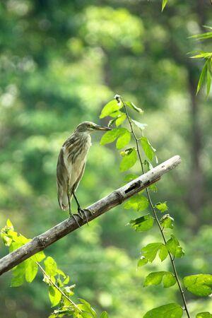 ardeidae: Heron