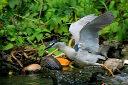 ardeidae: Black-crowned Night-Heron