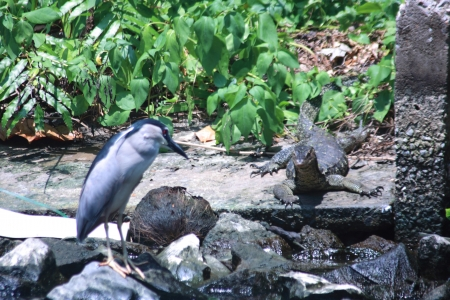 reptilia: Black-crowned Night-Heron and Water monitor Stock Photo