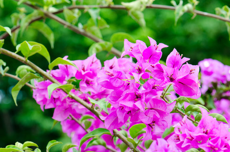 finders: Bougainvillea flowers Beautiful mountain views and beautiful blue finders.
