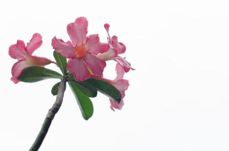Brightly colored azalea blossom Cut white background stand. Stock Photo