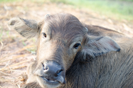 pleasure: Buffalo Thailand face the day with pleasure. Stock Photo