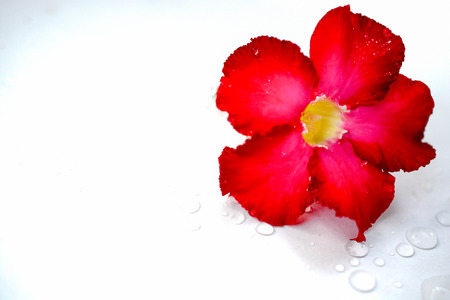 Red azalea flowers, beautiful clear water drops, white background.