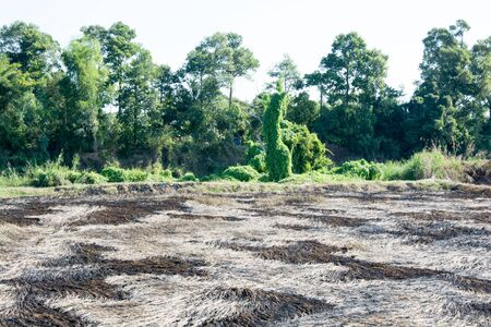 incorporation: The remains were burned to burn rice straw left but ashes filled the field, causing black. Gray is a beautiful pattern Pending incorporation again. Stock Photo