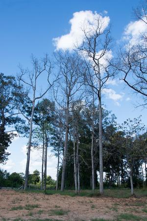 arboles secos: Los árboles muertos se marchitan y la destrucción del bosque seco en las manos de un brutal asesinato.