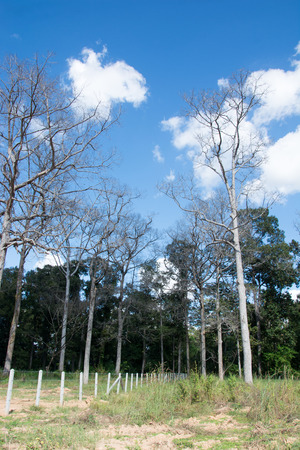 wither: Dead trees wither and dry forest destruction at the hands of a brutal killing. Stock Photo