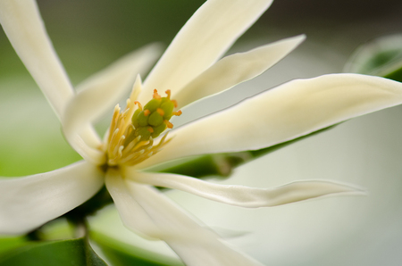jade plant: White Chempaka white bloom on the beautiful aroma.