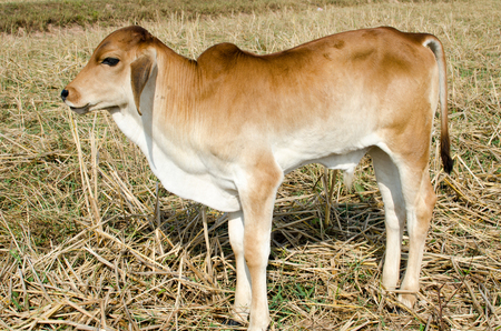 One brown calf graze in the field on the farm. Stock Photo
