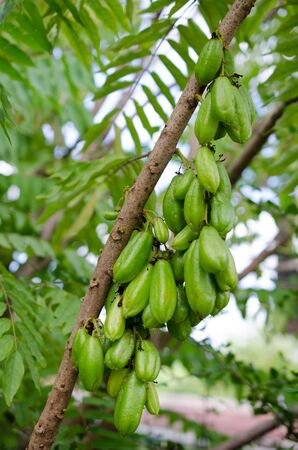 sour: Bilimbi flowering and fruit trees with a very sour taste, delicious fruit. Stock Photo