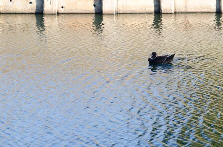 struck: One black duck Struck a flock of swimming in the single sculls.
