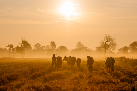 australian beef cow: cattle sunrise