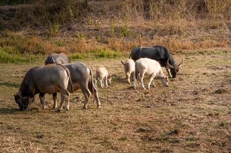 Buffalo grazing drought.