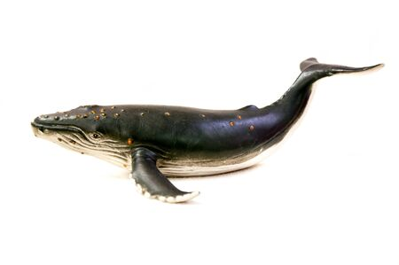 plankton: Ballena jorobada