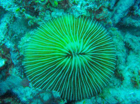 polyp corals: Coral, Fungia