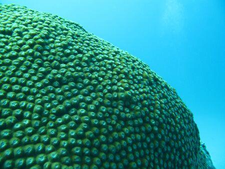 polyp corals: Coral, Diploastrea