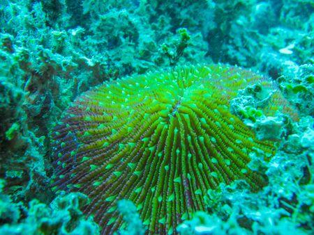 polyp: Coral, Fungia