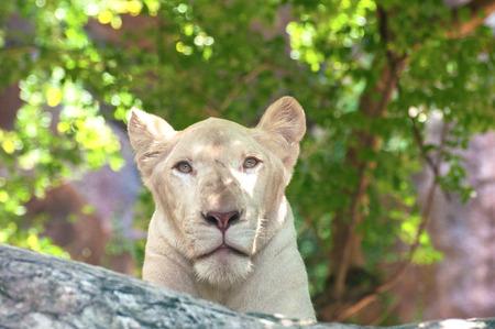 carnivora: White lion