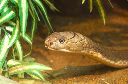 reptilia: King cobra Stock Photo