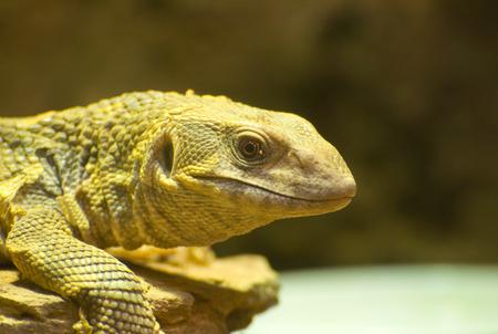 reptilia: Monitor lizard