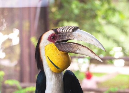 caruncle: Bar-pouched wreathed hornbill