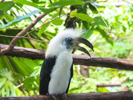 caruncle: White-crowned hornbill Stock Photo