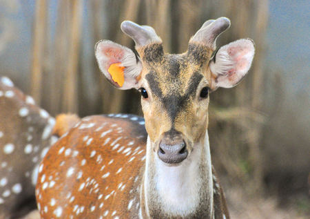 spotted: Spotted deer