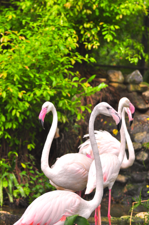greater: Greater Flamingo Stock Photo