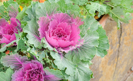 flowering kale: Pink cabbage