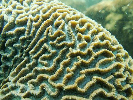 brain coral: Closed up to polyp of brain coral, Platygyra Stock Photo