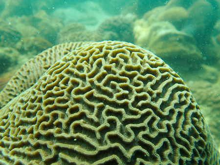 hard coral: Closed up to polyp of brain coral, Platygyra Stock Photo