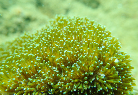 polyp: Closed up to coral polyp, Galaxea