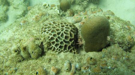 polyp: Massive coral