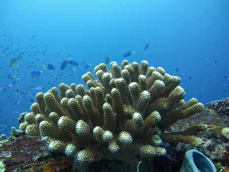 hard coral: Hard coral in the blue ocean