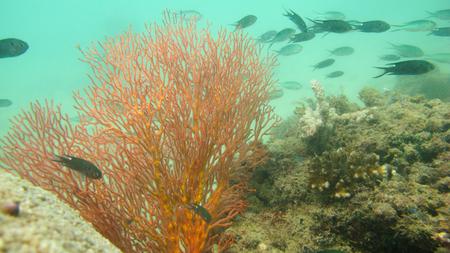 gorgonian sea fan: Seafan, Gorgonian Stock Photo
