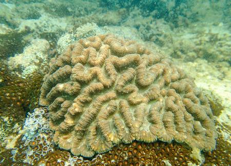 brain coral: Underwater, brain coral