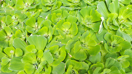 duckweed in the river Stock Photo