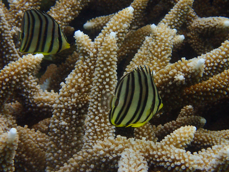 Butterfly fish and branching coral Acropora species in the tropical coral reef Stock Photo
