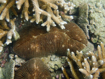 branching coral: mushroom or Fungia and branching coral species in the tropical coral reef