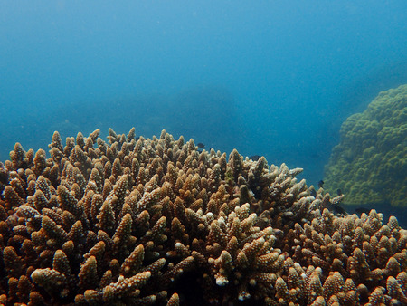 polyp corals: Branching coral or staghorn coral in the coral reef