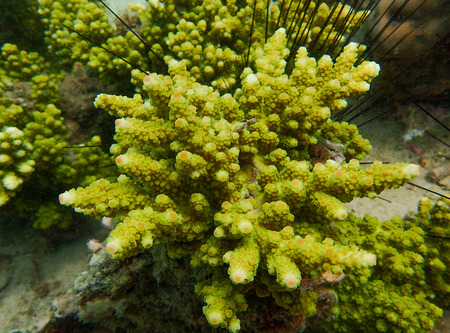 hard coral: Branching coral or staghorn coral in the coral reef