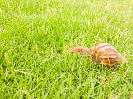 Land snail clawing on the grass in the backyard