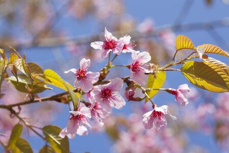 Beautiful Cherry blossom against blue sky photo