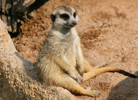 weary: Meerkat be weary